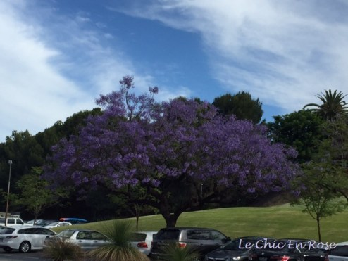 The beautiful Jacarandas in the centre of Perth