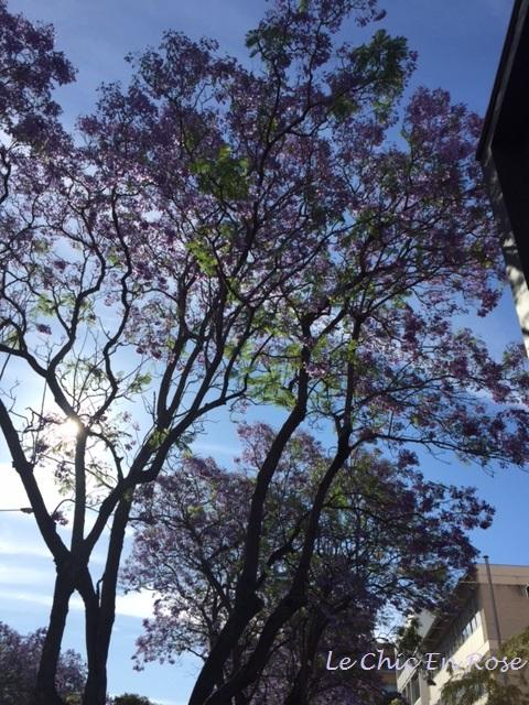 Sun filtering through the Jacaranda trees
