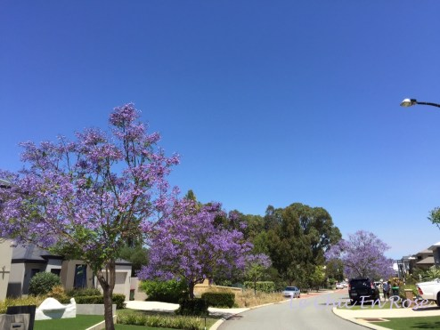 The purple trees against the azure blue sky