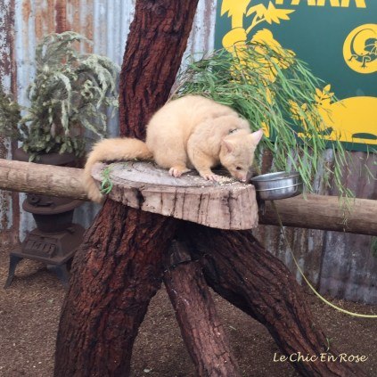 Golden Brushtail Possum at Caversham Wildlife Park