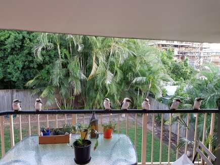 seven-kookaburras-are-fascinated-rose-crompton