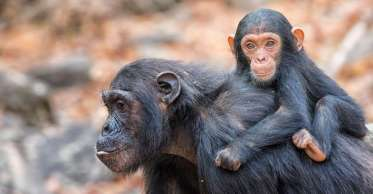 15c0b87c1c_97968_chimpanze-vertebre-disparition-wwf