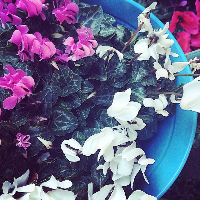 flores rosas y blancas