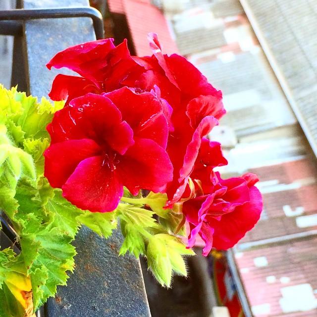 Ha estallado la primavera en mi balcón :))