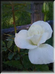 John F Kennedy rose