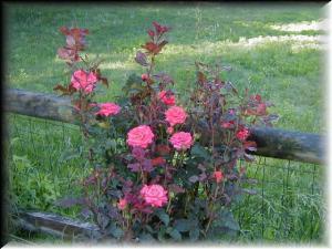 Orange Garnet rose