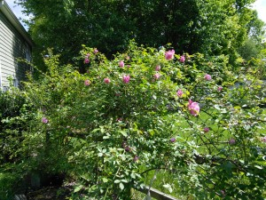 Old Blush (China rose; before 1793)