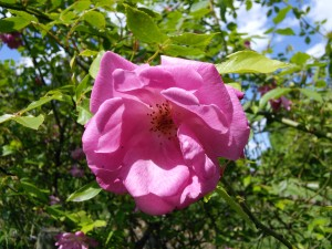 Old Blush (china rose, before 1793)