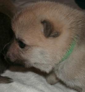 Puppy Green Boy