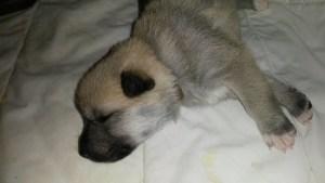puppy 2 weeks old c