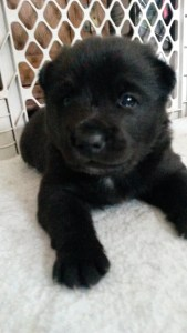 All black male Buhund we dreamed of!