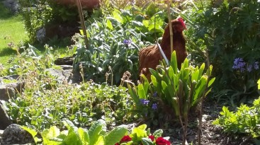 one of our hens playing hide and seek