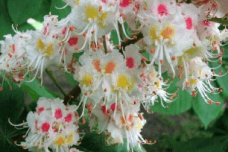 Flower images 2018 bach flower remedies white chestnut flower images bach flower remedies white chestnut the flowers are very beautiful here we provide a collections of various pictures of beautiful flowers charming mightylinksfo