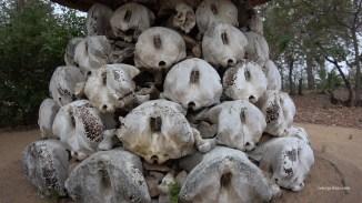 Skulls of Elephants, some poached. Niassa. Photo: Rosey Perkins