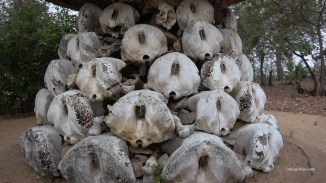 Skulls of Elephants, some poached. Niassa. Photo: Rosey Perkins