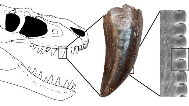 University of Toronto study on Tyrannosaur teeth show they are shaped like steak knives