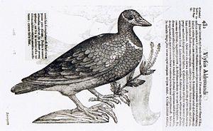 Ulisse Aldrovandi - Blue-Headed Quail-Dove - W...
