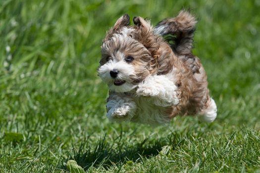 flying-havanese-puppy