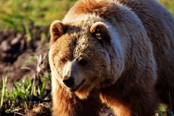 Czosnek niedźwiedzi - zdrowy nie tylko dla miśków