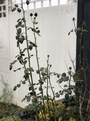 Pre-pruning our Queen of Sweden Rose