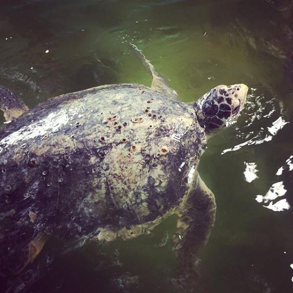 Marine Turtle Rehabilitation