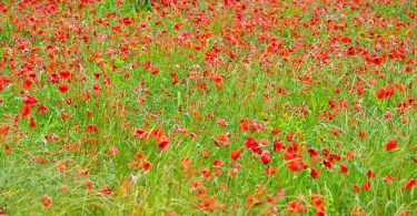 A poppy field in the rain