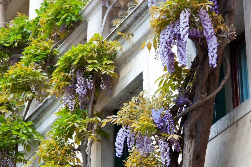 Wisteria tree climbing up a wall, Vicenza, Veneto, Italy - rossiwrites.com