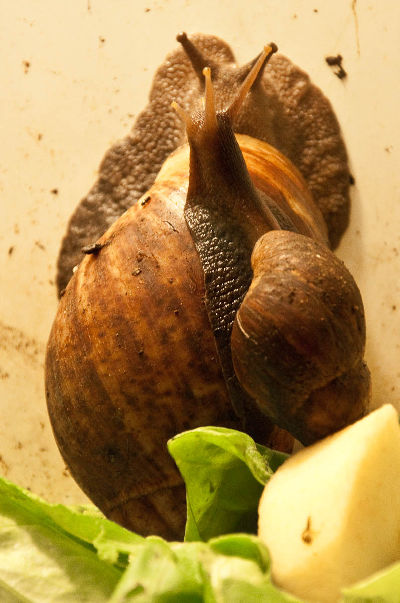 African giant snail, Esapolis, Padua, Veneto, Italy - www.rossiwrites.com