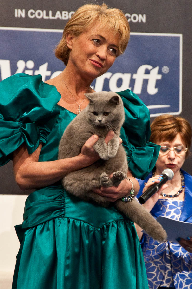 British shorthair cat on the catwalk, Golden Cat Show, Vicenza, Italy www.rossiwrites.com