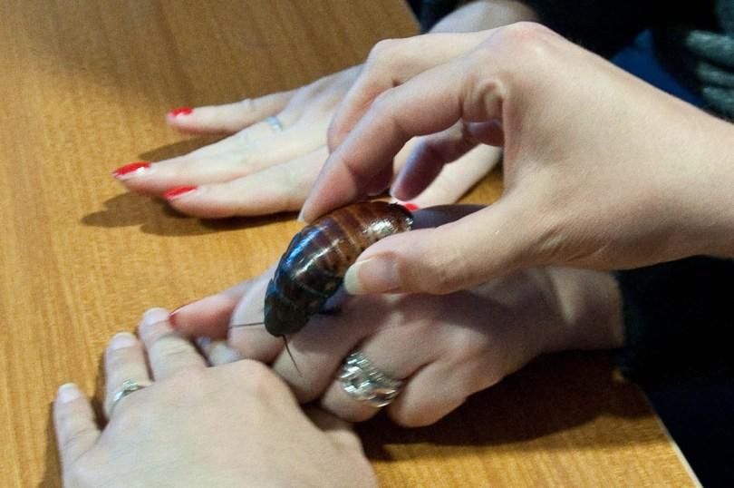 Hissing cockroach, Esapolis, Padua, Veneto, Italy - www.rossiwrites.com