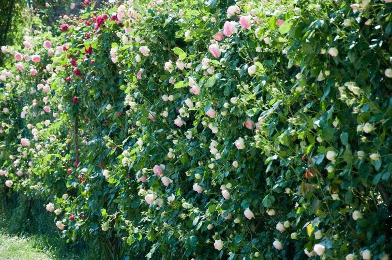 Rose shrubs living fence, Medieval castle, Este, Veneto, Italy - www.rossiwrites.com