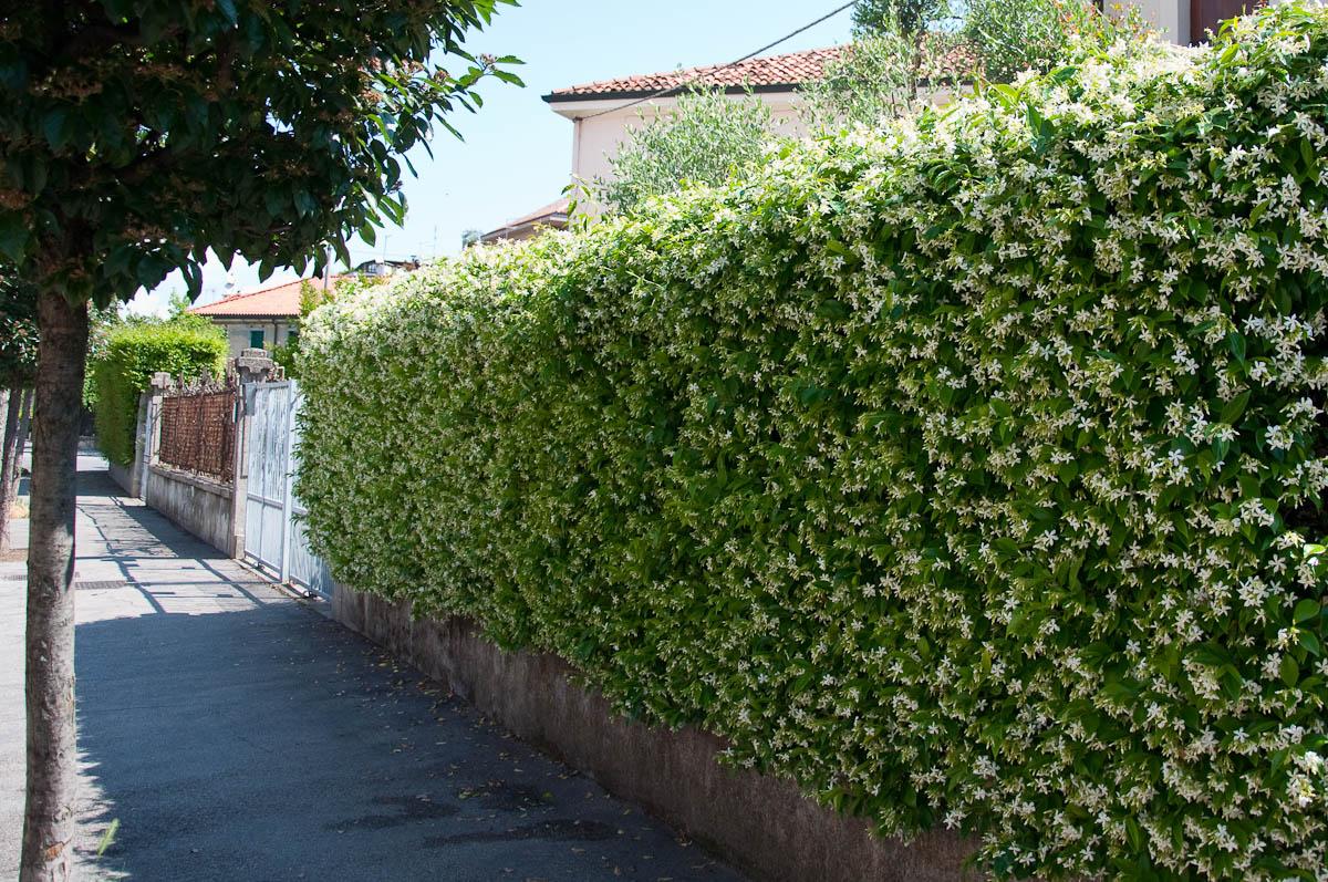Wild jasmine shrub fence vicenza italy rossi writes izmirmasajfo