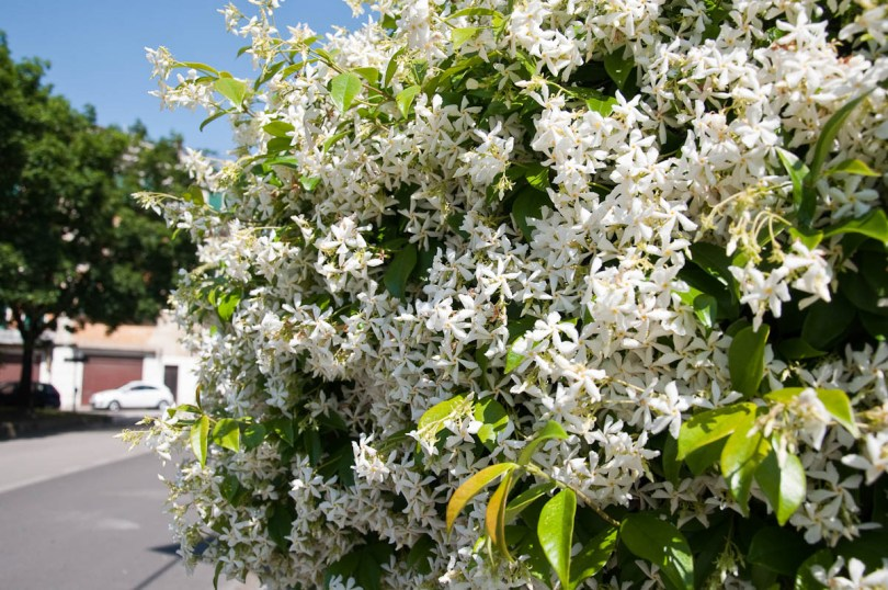Wild jasmin shrub fence, Vicenza, Italy