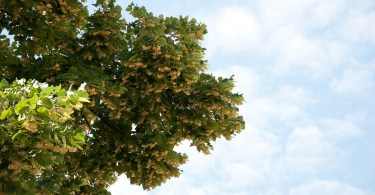 Linden tree in bloom, Vicenza, Veneto, Italy - www.rossiwrites.com