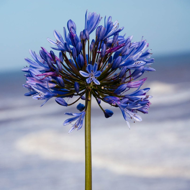 Allium in bloom, Castlehaven Caravan Park, Isle of Wight, UK - www.rossiwrites.com