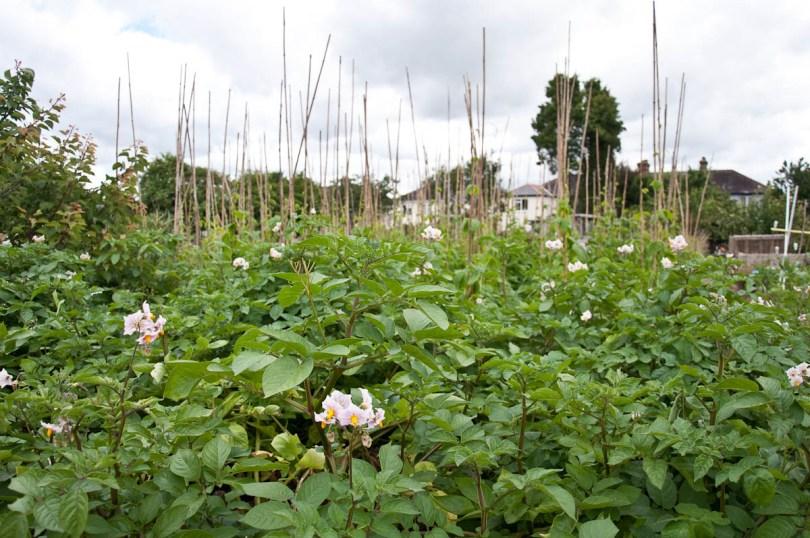Bean plants, England - www.rossiwrites.com