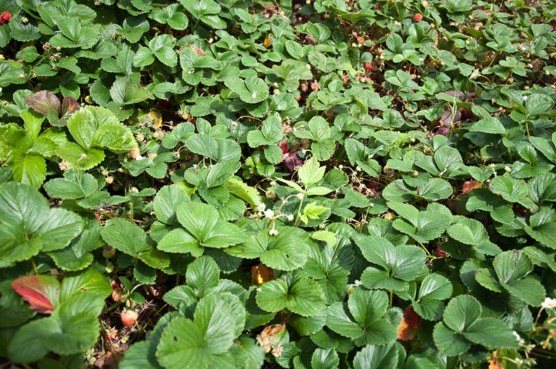 Strawberries ready for picking, England - www.rossiwrites.com