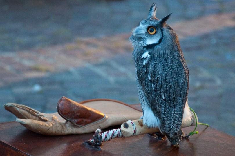 A tiny owl, Mediaevil Fair, Castelfranco Veneto, Italy - www.rossiwrites.com