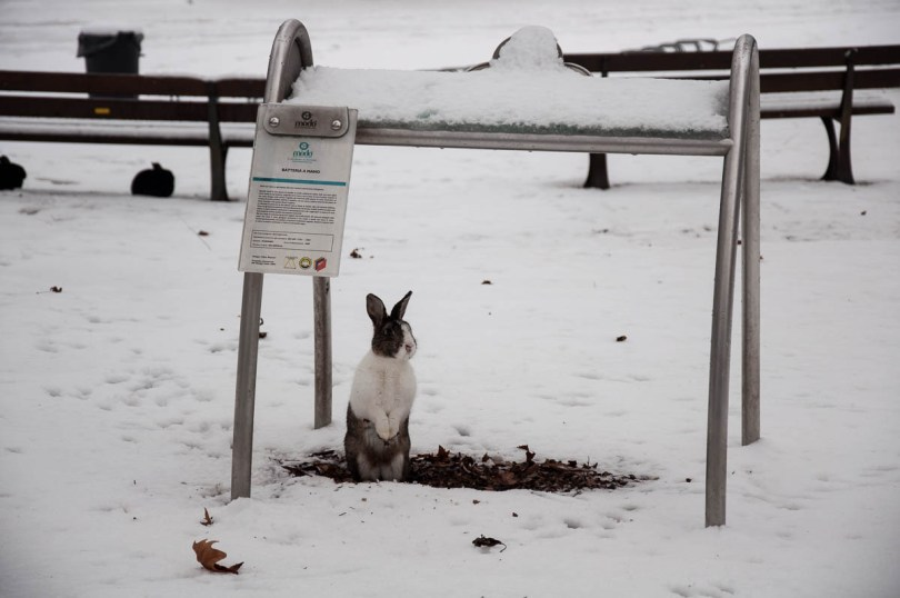 A rabbit hiding from the snow - Parco Querini, Vicenza, Veneto, Italy - www.rossiwrites.com