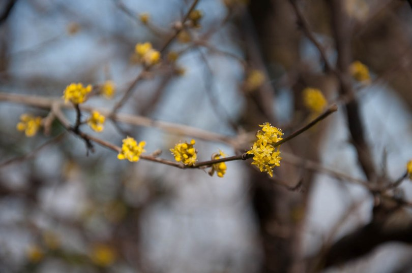 A blooming yellow bush - Colli Berici, Vicenza, Italy - www.rossiwrites.com