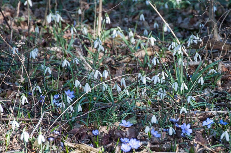 A snowdrops patch - Colli Berici, Vicenza, Italy - www.rossiwrites.com