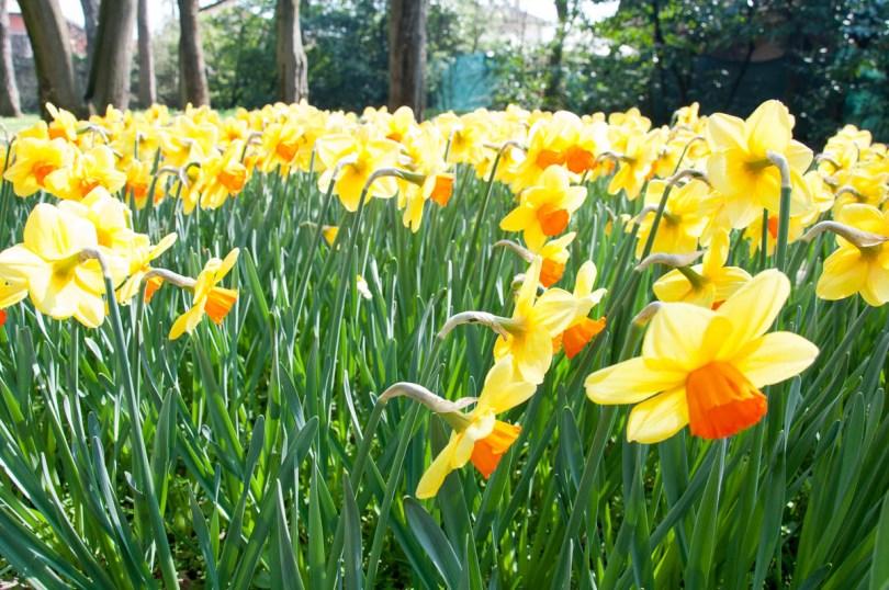 Blooming daffodils - Parco Giardino Sigurta - Valeggio sul Mincio, Veneto, Italy - www.rossiwrites.com