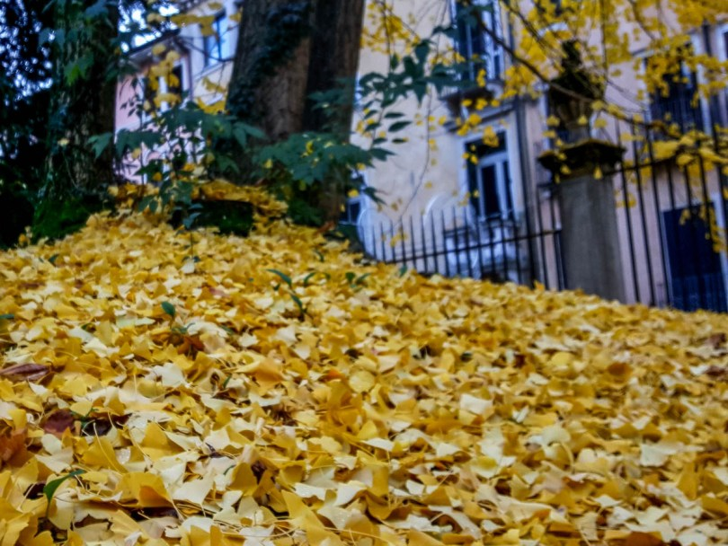 A carpet of beautiful yellow leaves of the ginkgo biloba trees in the garden of the Church of Santa Corona, Vicenza, Veneto, Italy - www.rossiwrites.com