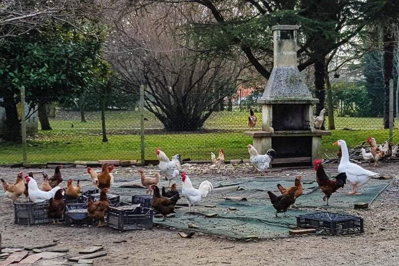 Hens, roosters and ducks - Fattoria Il Rosmarino, Marcon, Veneto, Italy - www.rossiwrites.com