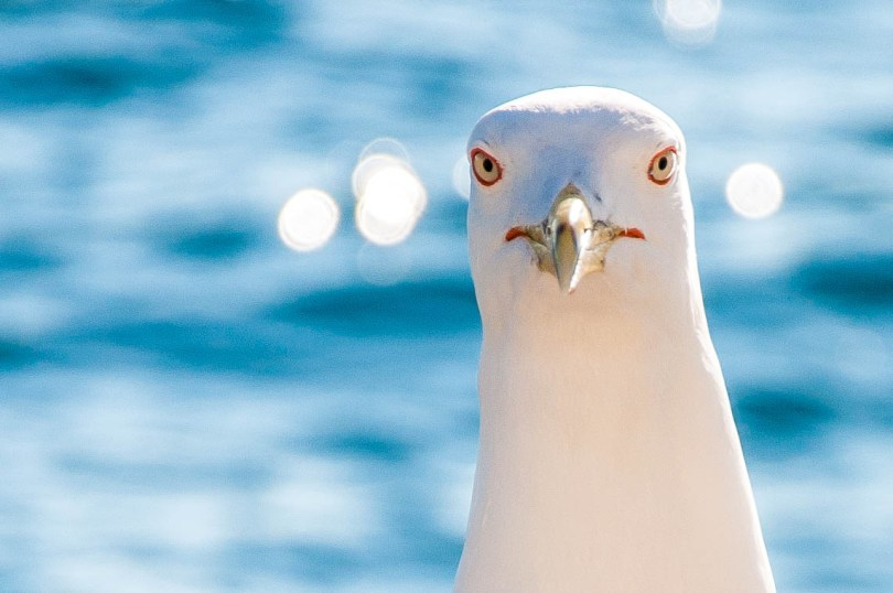 A seagull - www.rossiwrites.com