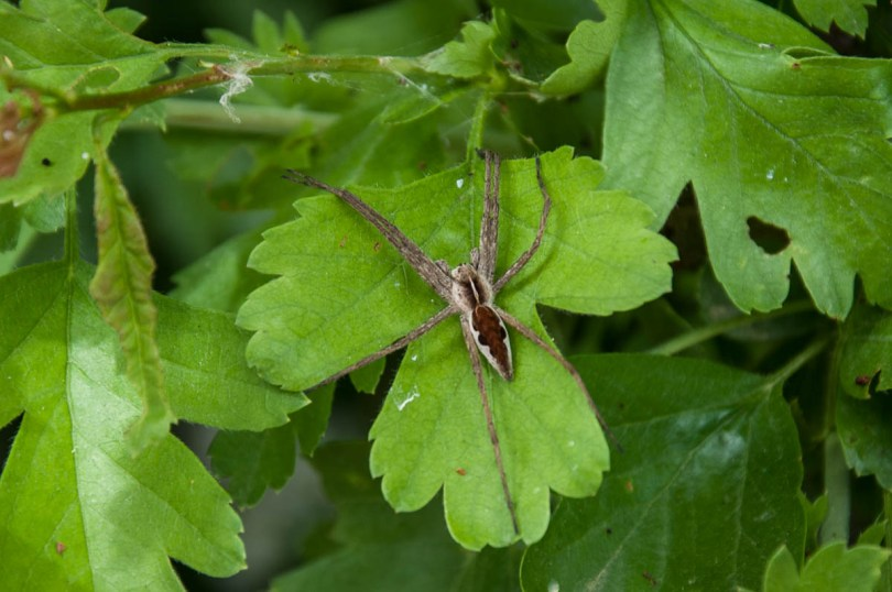 Huge spider - Lake Fimon, Arcugnano, Vicenza, Veneto, Italy - www.rossiwrites.com