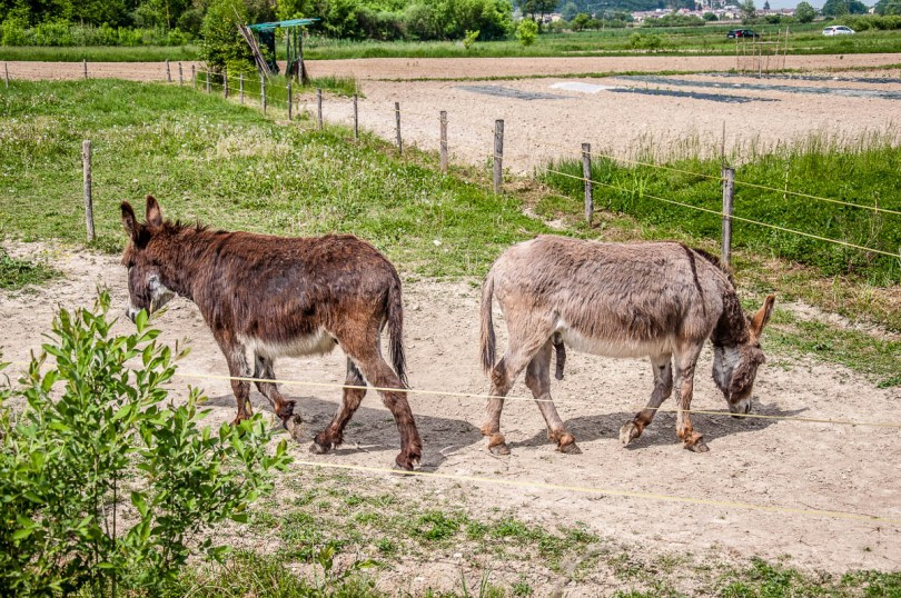 Two donkey friends - Lake Fimon, Arcugnano, Vicenza, Veneto, Italy - www.rossiwrites.com