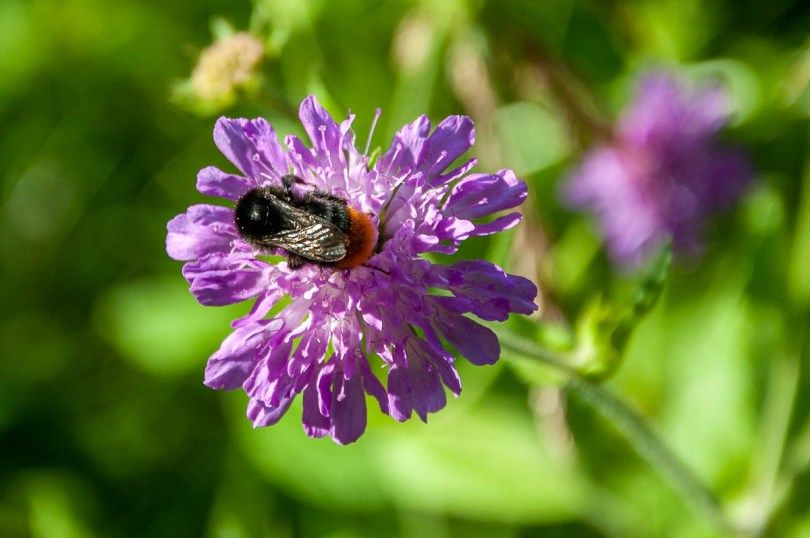 Bumblebee on a purple flower - Rubbio, Veneto, Italy - www.rossiwrites.com