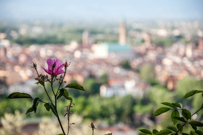 A rose for Vicenza, Italy - www.rossiwrites.com