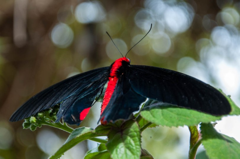 Black and red butterfly - Butterfly Ark - Montegrotto Terme, Veneto, Italy - www.rossiwrites.com